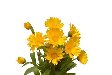 Квітки нагідок: чим корисна календула?